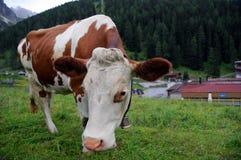 корова tyrolean Стоковые Фотографии RF