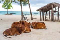 Коровы африканца Брайна лежа на пляже Занзибара Стоковые Изображения RF