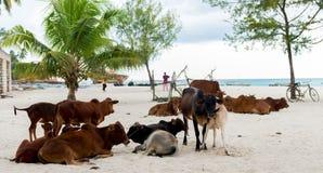 Коровы африканца на пляже Стоковое Фото