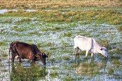 коровы Бахи пася Стоковые Изображения