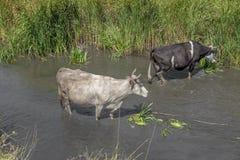 Коровы белизны и черноты в речной воде Стоковые Фотографии RF