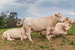 Коровы белизны в поле Стоковые Фотографии RF