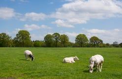 Коровы белизны в сельском ландшафте Стоковое Изображение