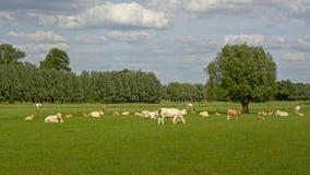 Коровы белизны и бежа в луге Стоковые Изображения