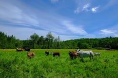 Коровы белизны и коричневого цвета в поле в Квебеке Стоковое Изображение RF