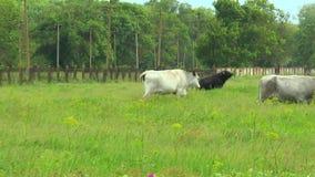 Коровы белизны и черные быки сток-видео