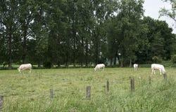 Коровы белизны пася зеленую траву Стоковое Изображение