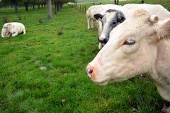Коровы бельгийца пася на злаковиках в Бельгии Стоковое Изображение