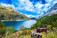 Коровы болячки пася в луге Стоковые Изображения RF
