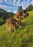 Коровы Брайна в высокогорном луге Стоковое Фото