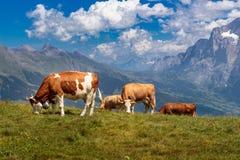 Коровы Брайна в горах Стоковые Фотографии RF