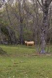 Коровы Брайна есть траву Стоковая Фотография