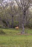 Коровы Брайна есть траву Стоковые Изображения