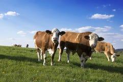 Коровы Брайна и белизны на выгоне Стоковая Фотография RF