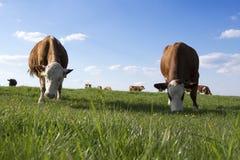Коровы Брайна и белизны на выгоне Стоковое Изображение