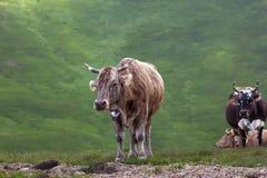 Коровы Брайна на выгоне в горах Стоковое фото RF