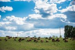 Коровы Брайна на зеленом поле и голубом небе с облаками кумулюса Стоковое фото RF