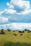 Коровы Брайна на зеленом поле и голубом небе с облаками кумулюса Стоковое Изображение RF