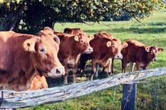 Коровы Брайна на поле лета Стоковое Фото