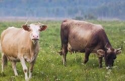 Коровы Брайна пася в зеленом поле Стоковые Изображения RF