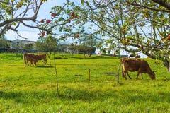 Коровы Брайна пася на зеленом поле astrological Стоковая Фотография