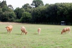 Коровы Брайна пася Стоковая Фотография RF