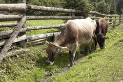 2 коровы бродяжничают вдоль деревянной загородки Стоковые Изображения RF