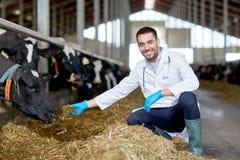 Коровы ветеринара подавая в коровнике на молочной ферме Стоковая Фотография RF