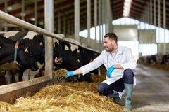Коровы ветеринара подавая в коровнике на молочной ферме Стоковое Фото