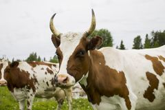 Коровы вне на траве Стоковые Фотографии RF