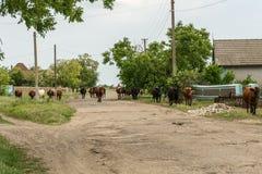 Коровы возвращают выгоны, коров пася Стоковые Изображения