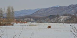 Коровы волос Брайна длинные в ландшафте снега стоковое изображение rf
