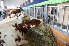 Коровы - выставка Сиднея королевская пасхи Стоковое Изображение RF