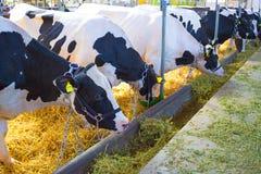 Коровы выставки Стоковое Изображение RF