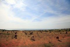 Коровы вьетнамца Стоковое Изображение RF