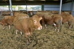 Коровы в амбаре Стоковое Фото