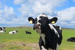 Коровы в ландшафте голландца в Голландии Стоковые Фотографии RF