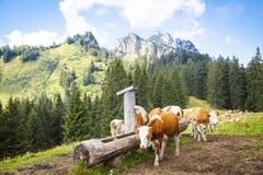 Коровы в баварских горах Стоковое Изображение RF