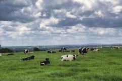 Коровы в Бретани (Франция) Стоковая Фотография RF