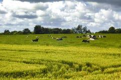 Коровы в Бретани (Франция) Стоковые Изображения RF