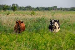 2 коровы в выгоне Брайн и черно-белые коровы Коровы смотрят в объектив фотоаппарата Стоковые Фото