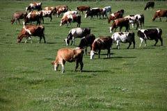 Коровы в выгоне Стоковое Фото