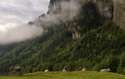 Коровы в высокогорном луге Стоковое Изображение RF