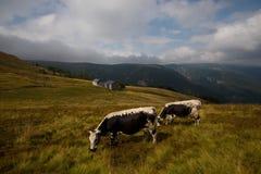 Коровы в высотах гор Вогезы Стоковое Изображение RF