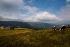 Коровы в высотах гор Вогезы Стоковая Фотография RF