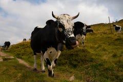 Коровы в высотах гор Вогезы Стоковая Фотография