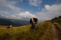 Коровы в высотах гор Вогезы Стоковые Изображения