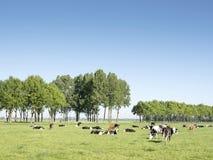 Коровы в голландском луге на солнечный летний день в южной Голландии близко vianen Стоковое фото RF
