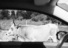Коровы в горах Италии сняли от окна автомобиля Стоковые Фото