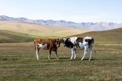 Коровы в горах Казахстана Стоковая Фотография RF